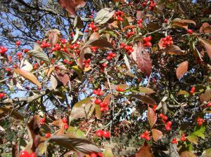 Dogwood berries, just in time for Christmas.