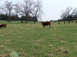 A few cows
