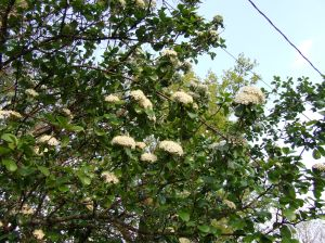 The hawthorne bush in our yard - the hawthorn is Missouri's state flower.